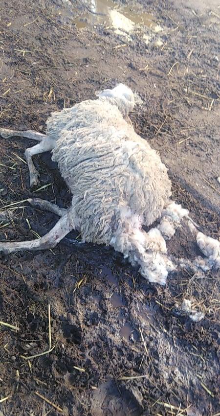 Zaklane ovce u Ivanovu