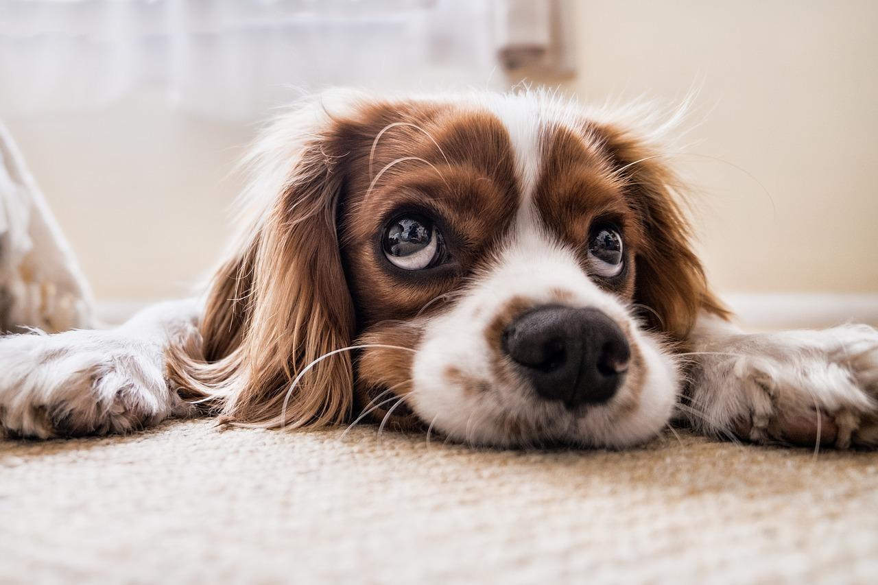 Pas gleda tužno