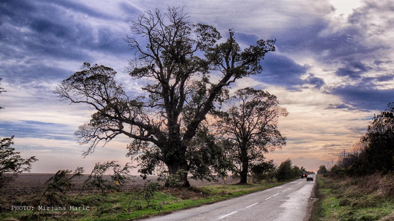 Dva stabla belog jasena kod Dolova