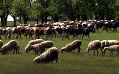 Krave i ovce
