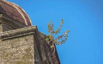 Na zvoniku raste drvo malo. Najviši koren u gradu. Pančevo