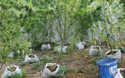 Zasadi indijske konoplje u okolini Kovačice